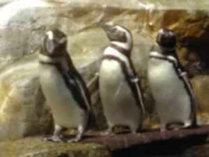 Shedd rescue penguins at play